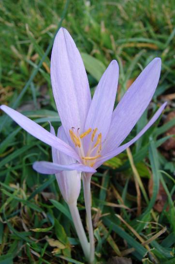 Fleur du Colchique d'automne - Pyrénées